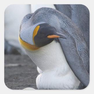South Georgia Island, Gold Harbor. King penguin 3 Square Sticker