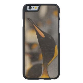 South Georgia Island, Salisbury Plain. Second Carved® Maple iPhone 6 Case