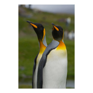 South Georgia. Saint Andrews. King penguin 1 Poster