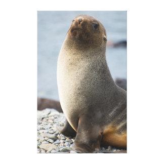 South Georgia. Stromness. Antarctic fur seal 1 Canvas Print