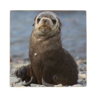 South Georgia. Stromness. Antarctic fur seal 2 Wood Coaster