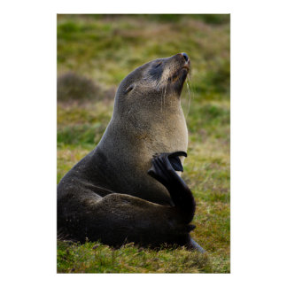 South Georgia. Stromness. Antarctic fur seal 4 Poster