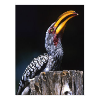 South Kruger National Park. Yellow-billed Postcard