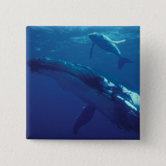 South Pacific, Tonga. humpback whale and calf 15 Cm Square Badge