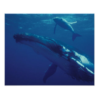 South Pacific Tonga humpback whale and calf Poster
