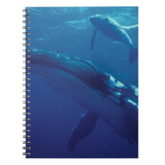 South Pacific, Tonga. humpback whale and calf Spiral Note Books