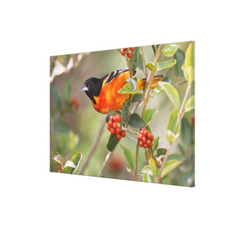South Padre Island, Texas, USA, Baltimore Oriole Canvas Print