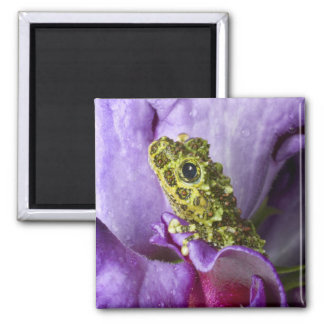 Southeast Vietnam. Close-up of mossy tree frog Square Magnet