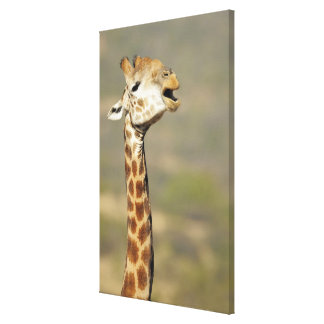 Southern African giraffe (Giraffa camelopardalis Canvas Print