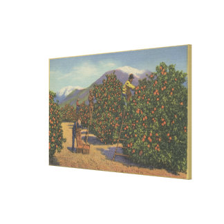Southern California - Picking Oranges Gallery Wrap Canvas