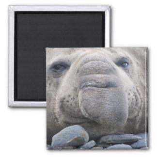 Southern Elephant Seal Mirounga leonina) 2 Magnet