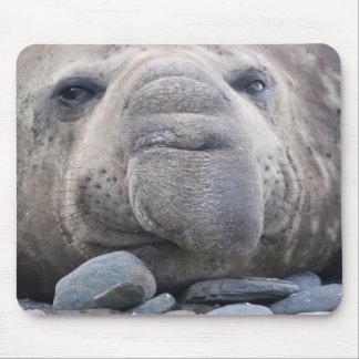 Southern Elephant Seal Mirounga leonina) 2 Mouse Mat
