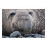 Southern Elephant Seal Mirounga leonina) 2 Poster