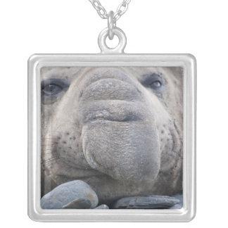 Southern Elephant Seal Mirounga leonina) 2 Square Pendant Necklace