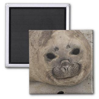 Southern Elephant Seal Mirounga leonina) 3 Magnet