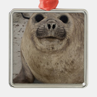 Southern Elephant Seal Mirounga leonina) Christmas Ornament