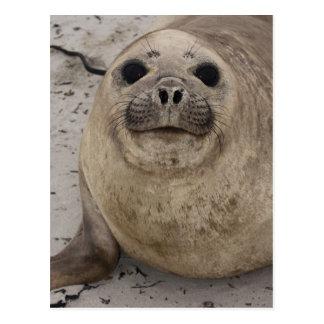 Southern Elephant Seal Mirounga leonina) Postcard