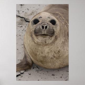 Southern Elephant Seal Mirounga leonina) Print