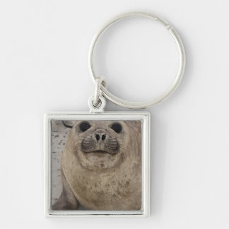 Southern Elephant Seal Mirounga leonina) Silver-Colored Square Key Ring