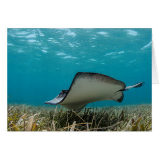 Southern Stingray in Shallows Card