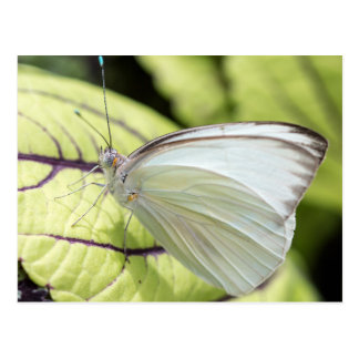 Southern White Butterfly Postcard