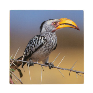 Southern Yellow-billed Hornbill Wood Coaster