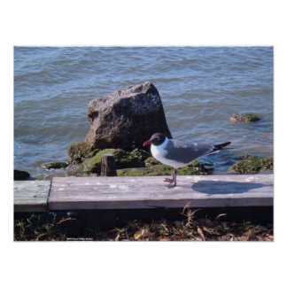 Southport, North Carolina - Seagull Poster