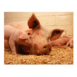 Sow and Piglets Post Card