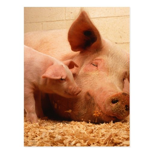 Sow and Piglets Postcards