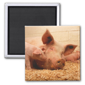 Sow and Piglets Square Magnet