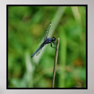 Spangled Skimmer Dragonfly poster