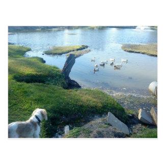 Spaniel and Ducks Postcard