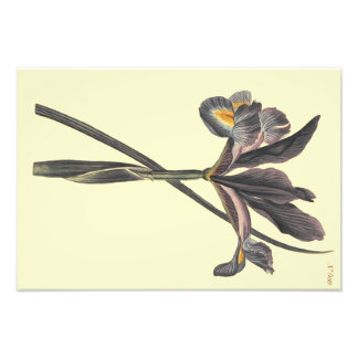 Spanish Flag Iris Illustration Photo Print