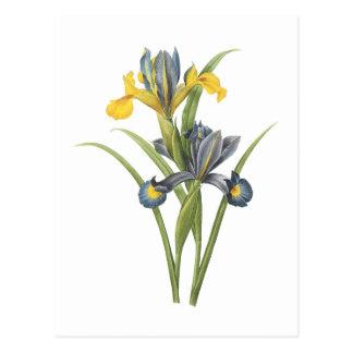 Spanish iris(Iris xiphium) by Redouté Postcard
