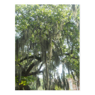 Spanish Moss Savannah Georgia Postcard