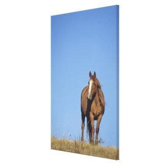 Spanish mustang (Equus caballus), wild horse, Canvas Print