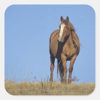 Spanish mustang (Equus caballus), wild horse, Square Sticker