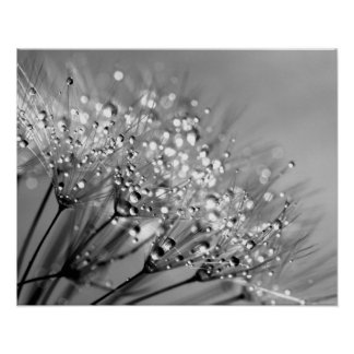 Sparkling Dew Dandelion Monochrome Background Poster