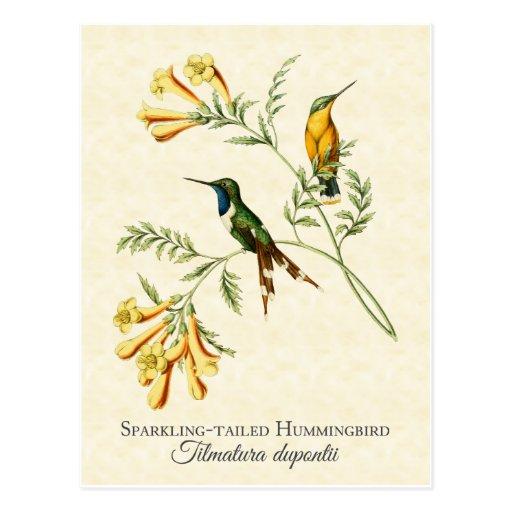 Sparkling Tailed Hummingbird Art Postcard