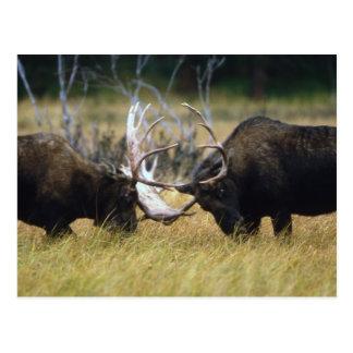 Sparring Moose Wildlife Series # 12 Postcard
