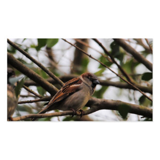 Sparrow on a Branch 2 Pack Of Standard Business Cards