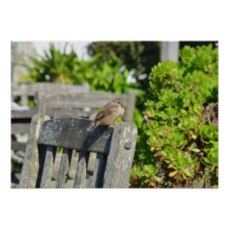 Sparrow On A Garden Chair Poster