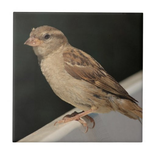 sparrow sitting on a bench small square tile
