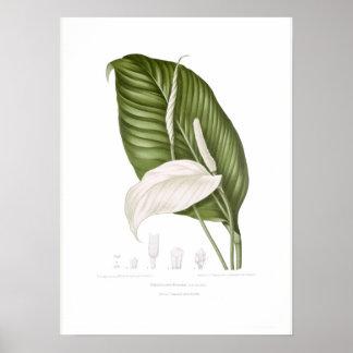 Spathiphyllopsis minahassae poster