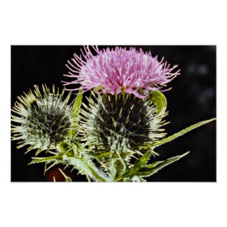 Spear thistle, cirsium vulgare  flowers posters