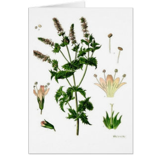 Spearmint Botanical Drawing Greeting Card