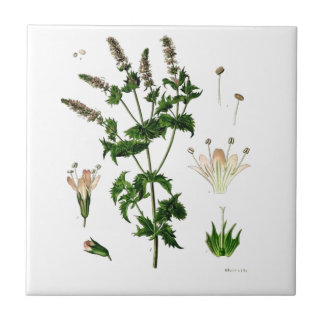 Spearmint Botanical Drawing Small Square Tile