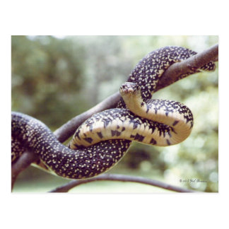 Speckled King Snake Postcard