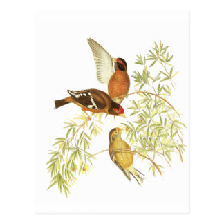 Spectacled Finch Post Card