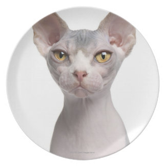 Sphynx (7 months old) plate